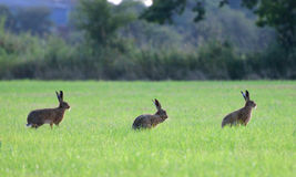 Three brown hares standing on side ways. In the grass at Coombe Hill Nature Reserve, UK. The middle one is washing himself while the others are watching Stock Photos