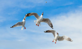 Three Brown headed Gull flying Stock Photos