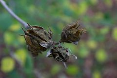 Three brown hibiscus seed pods beginning to open, background soft Royalty Free Stock Photo