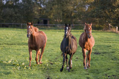 Three brown horses Stock Photo