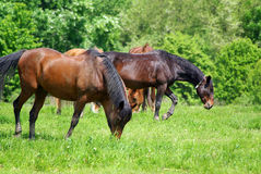 Three brown horses royalty free stock photo
