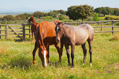Three brown horses eatin grass in a fenced field Royalty Free Stock Image