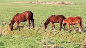 Three brown horses grazing on meadow stock footage