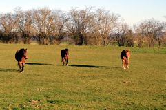 Three brown horses. In a green pasture Royalty Free Stock Photography