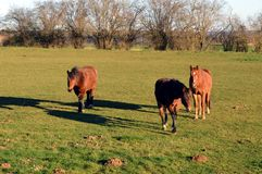 Three brown horses. In a green pasture Royalty Free Stock Photos