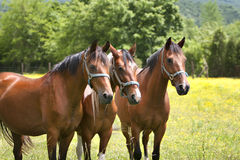 Three Brown Horses In Pasture Stock Photos