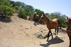 Three brown horses inside a paddock. Of riding school while trotting Royalty Free Stock Image