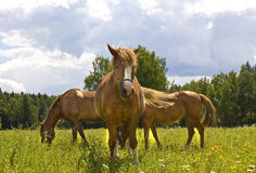 Three brown horses on meadow Stock Images