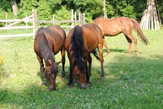 Three brown horses on a meadow stock photography