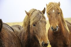 Brown horses standing in the field. Three brown horses standing in the field looking straight ahead Royalty Free Stock Images