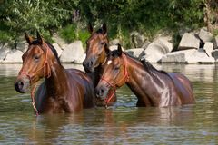 Three brown horses in the water Stock Photo