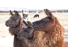 Three Brown Llamas Looking Left. A herd of three brown llamas (Lama glama) all looking left with one crasher in the back royalty free stock image