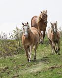 Three brown mares descend from the hill. royalty free stock images