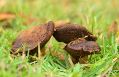 Three mushrooms on green grass Royalty Free Stock Images