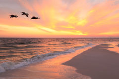 Three Brown Pelicans Fly Near the Beach at Sunset Royalty Free Stock Photography