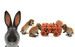 Three  brown rabbits Stock Photography