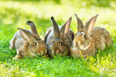 Three brown rabbits Stock Photos
