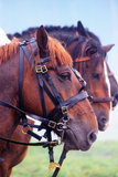 Three brown saddled horses profiles. A close-up portrait of three brown saddled horses profiles in nature Stock Images