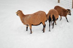 Three brown sheeps Stock Image