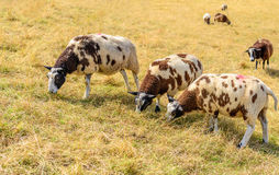 Three brown spotted sheep in the foreground in yellowed grass. Three brown spotted sheep in dry and yellowed grass in the foreground at the slope of a Dutch stock image