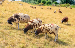Three brown spotted sheep in the foreground in yellowed grass. Three brown spotted sheep eating dry and yellowed grass in the foreground at the slope of a Dutch Stock Images