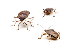 Three Brown Stink Bugs Stock Photography