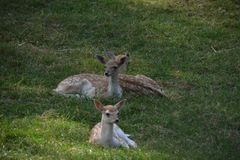 Three deers sitting in a grassfield stock photography