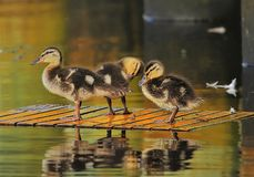 The nervous Ducklings royalty free stock photos
