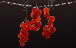Three brushes of ripe red currant royalty free stock photography