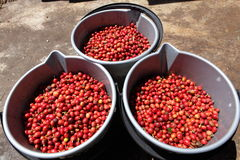 Free Three Buckets Full Of Ripe Red Coffee Beans Royalty Free Stock Photography - 16762507