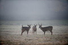 Three bucks in the fog. Three whitetail deer bucks look each other over while standing in a foggy meadow stock images