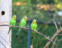 Three budgerigars of natural coloration is sitting on a branch Stock Photography