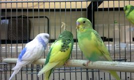 Three Budgies Stock Photos