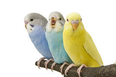 Three budgies are in the roost Royalty Free Stock Photo