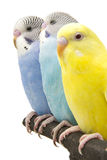 Three budgies are in the roost Royalty Free Stock Photography