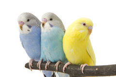 Three budgies are in the roost Stock Photos