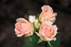 Three buds of gently pink roses. On a brown background Royalty Free Stock Images