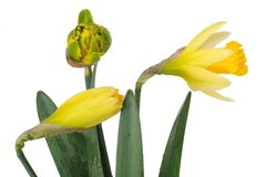 Three buds of narcissus Royalty Free Stock Images