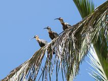 Buff necked ibises on a palm tree royalty free stock images