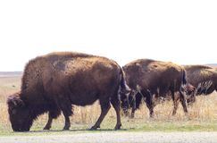 Three buffalo grazing beside the road in Tall Grass Pairie swishing their tails. Three buffalo graze beside the road in Tall Grass Pairie swishing their tails royalty free stock photo