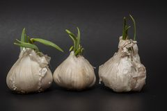 Three bulbs of sprouting garlic in a row royalty free stock photography