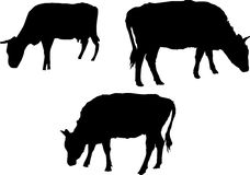 Three bull and cow silhouettes Royalty Free Stock Photo