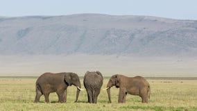 Three Bull Elephants in the Ngorongoro Crater, Tanzania Stock Photography
