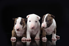 Three Bull Terrier puppies with black stock photo