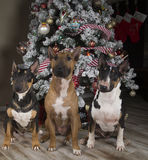 Three bull terriers in front of the Christmas tree Stock Photos
