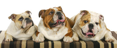 Three bulldogs Stock Photo