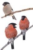 Three bullfinch Royalty Free Stock Photography