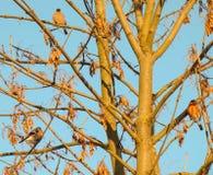 Three bullfinch winter. On a tree eating seeds Royalty Free Stock Photos