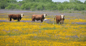 Three bulls in a field of flowers Royalty Free Stock Images