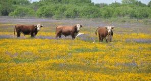 Three bulls in a field of flowers. Three hereford bulls stand in a field of yellow and blue flowers.  Taken near Corpus Christi, Texas Royalty Free Stock Images